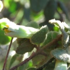 Correa reflexa var. reflexa (Common Correa, Native Fuchsia) at Swamp Creek - 14 May 2019 by KumikoCallaway