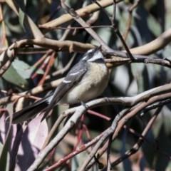 Rhipidura fuliginosa (Grey Fantail) at Lake Ginninderra - 4 Jun 2019 by Alison Milton