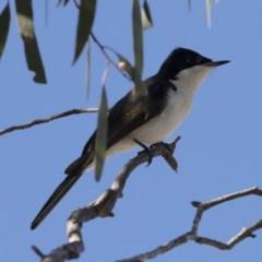 Myiagra inquieta (Restless Flycatcher) at Michelago, NSW - 1 Jun 2019 by Illilanga