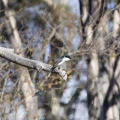 Myiagra inquieta at Michelago, NSW - 1 Jun 2019