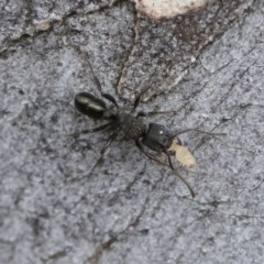 Rhytidoponera metallica (Greenhead ant) at Illilanga & Baroona - 30 Mar 2019 by Illilanga