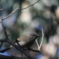 Pachycephala pectoralis (Golden Whistler) at Red Hill Nature Reserve - 9 Jun 2019 by LisaH