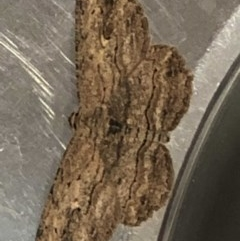 Ectropis excursaria (Common Bark Moth) at Monash, ACT - 27 Apr 2019 by jackQ