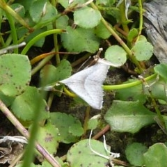 Unidentified Moth (TBC) at Sanctuary Point - Basin Walking Track Bushcare - 22 Feb 2019 by christinemrigg