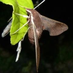 Hippotion scrofa (Coprosma Hawk Moth) at Woollamia, NSW - 26 Dec 2016 by christinemrigg