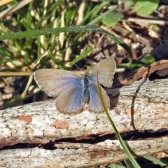 Zizina otis (Common Grass-blue) at Namadgi National Park - 9 Jun 2019 by RodDeb