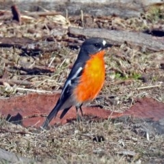 Petroica phoenicea (Flame Robin) at Tharwa, ACT - 9 Jun 2019 by RodDeb