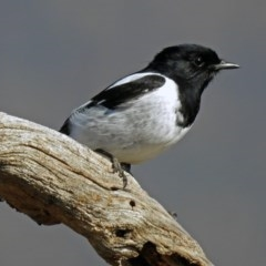 Melanodryas cucullata (Hooded Robin) at Tharwa, ACT - 9 Jun 2019 by RodDeb