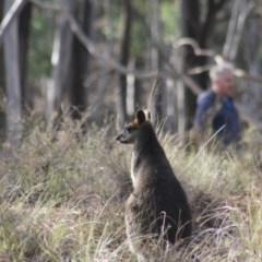 Wallabia bicolor (Swamp Wallaby) at Gundaroo, NSW - 26 May 2019 by Gunyijan