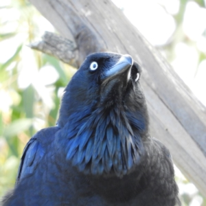 Corvus coronoides at Jerrabomberra Wetlands - 9 Jun 2019