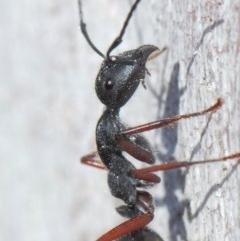 Camponotus suffusus (Golden-tailed sugar ant) at ANBG - 30 May 2019 by TimL