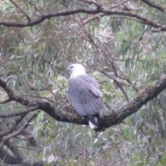 Haliaeetus leucogaster (White-bellied Sea-Eagle) at Wollondilly Local Government Area - 26 Mar 2019 by RobParnell