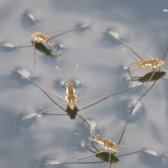 Tenagogerris euphrosyne (Water Strider) at Wollondilly Local Government Area - 27 Mar 2019 by RobParnell
