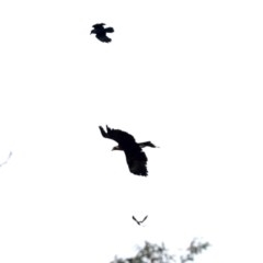 Aquila audax (Wedge-tailed Eagle) at Mount Ainslie - 10 Jun 2019 by jbromilow50