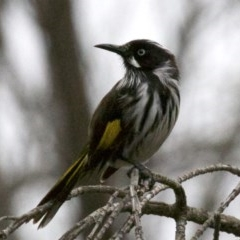 Phylidonyris novaehollandiae (New Holland Honeyeater) at Jerrabomberra Wetlands - 2 Jun 2019 by jbromilow50