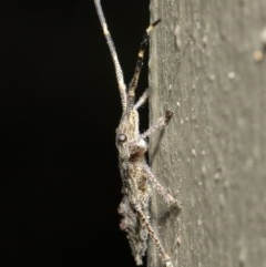 Alcaeus varicornis at ANBG - 7 Jun 2019