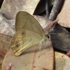 Hypocysta pseudirius (TBC) at Wollondilly Local Government Area - 22 Mar 2019 by RobParnell