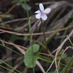 Viola silicestris (Sandstone Violet) at South Pacific Heathland Reserve - 6 Aug 2017 by NicholasdeJong