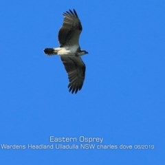 Pandion cristatus (Eastern Osprey) at Coomee Nulunga Cultural Walking Track - 2 Jun 2019 by Charles Dove