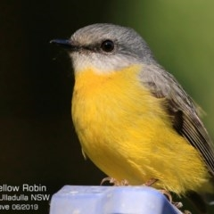 Eopsaltria australis (Eastern Yellow Robin) at Ulladulla - Millards Creek - 1 Jun 2019 by CharlesDove