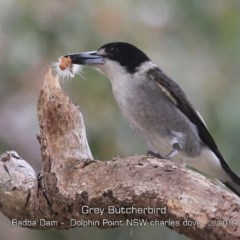 Cracticus torquatus (Grey Butcherbird) at Wairo Beach and Dolphin Point - 7 Jun 2019 by CharlesDove