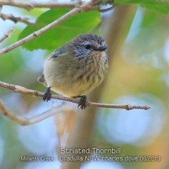 Acanthiza lineata (Striated Thornbill) at Ulladulla - Millards Creek - 2 Jun 2019 by CharlesDove