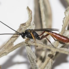 Heteropelma scaposum (Two-toned caterpillar parasite wasp) at Higgins, ACT - 11 May 2019 by AlisonMilton