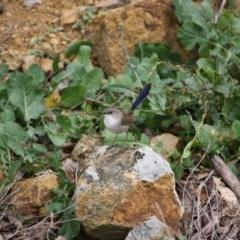 Malurus cyaneus (Superb Fairywren) at Red Hill Nature Reserve - 10 Jun 2019 by LisaH
