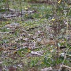 Acanthiza chrysorrhoa (Yellow-rumped Thornbill) at Deakin, ACT - 8 Jun 2019 by LisaH