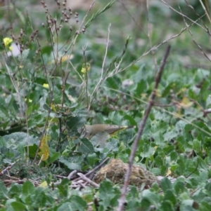 Acanthiza chrysorrhoa at Red Hill Nature Reserve - 8 Jun 2019