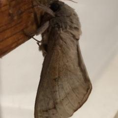 Oxycanus silvanus (Pale Oxycanus) at Monash, ACT - 11 Jun 2019 by jackQ