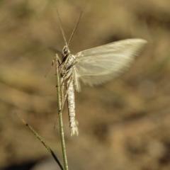 Philobota (genus) (Unidentified Philobota genus moths) at Deakin, ACT - 31 May 2019 by BIrdsinCanberra
