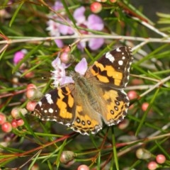 Vanessa kershawi (Australian Painted Lady) at ANBG - 11 Jun 2019 by TimL