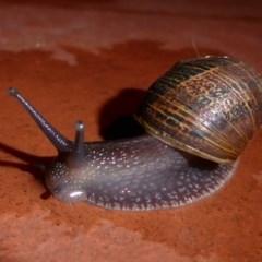 Cornu aspersum (Common Garden Snail) at Flynn, ACT - 12 Jun 2019 by Christine