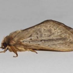 Oxycanus silvanus (Pale Oxycanus) at Evatt, ACT - 11 Jun 2019 by TimL