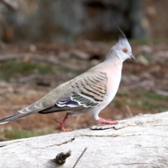 Ocyphaps lophotes (Crested Pigeon) at Mount Ainslie - 12 Jun 2019 by jbromilow50