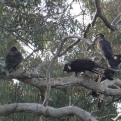 Zanda funereus (Yellow-tailed Black-Cockatoo) at Red Hill Nature Reserve - 11 Jun 2019 by JackyF