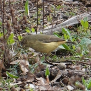 Acanthiza reguloides at Red Hill Nature Reserve - 12 Jun 2019