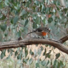 Petroica boodang (Scarlet Robin) at Red Hill Nature Reserve - 12 Jun 2019 by JackyF