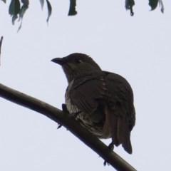 Ptilonorhynchus violaceus (Satin Bowerbird) at Red Hill Nature Reserve - 11 Jun 2019 by JackyF