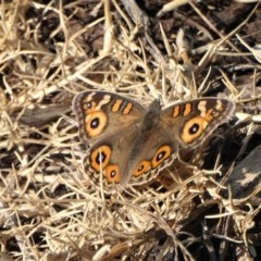 Junonia villida (Meadow Argus) at Mossy Point, NSW - 2 Jun 2019 by HelenR