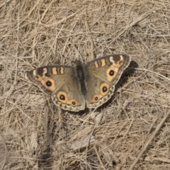 Junonia villida (Meadow Argus) at Giralang, ACT - 14 Jun 2019 by AlisonMilton