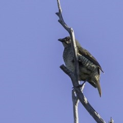 Ptilonorhynchus violaceus (Satin Bowerbird) at Swamp Creek - 1 Jun 2019 by BIrdsinCanberra