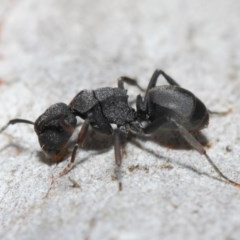 Polyrhachis sp. (genus) (A spiny ant) at ANBG - 14 Jun 2019 by TimL