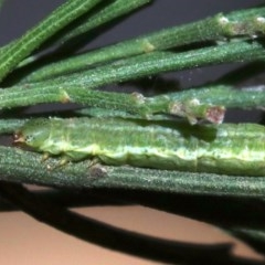 Phelotis cognata (Long-fringed Bark Moth) at Ainslie, ACT - 12 Jun 2019 by jbromilow50