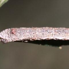 Scioglyptis lyciaria (White-patch Bark Moth) at Ainslie, ACT - 13 Jun 2019 by jbromilow50
