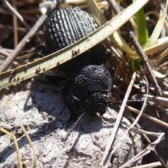 Adelium porcatum (Darkling Beetle) at Mulligans Flat - 15 Jun 2019 by Christine