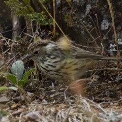 Pyrrholaemus sagittata (Speckled Warbler) at Illilanga & Baroona - 13 Jan 2013 by Illilanga