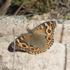 Junonia villida (Meadow Argus) at Illilanga & Baroona - 24 Feb 2019 by Illilanga