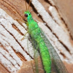Mallada tripunctatus (Three-spot green lacewing) at ANBG - 14 Jun 2019 by TimL